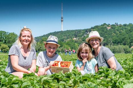 Dresden: Erdbeerselbstpflücke beginnt