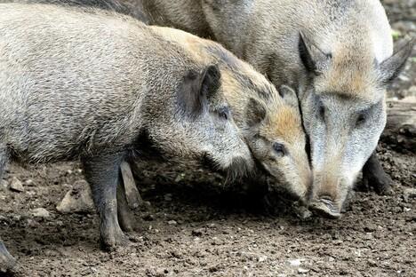 Afrikanische Schweinepest in Sachsen