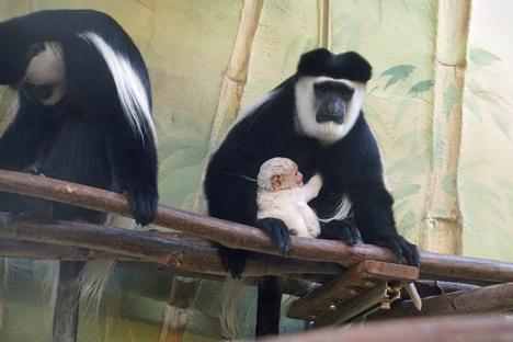 Familie und Kinder: Guereza-Nachwuchs im Zoo Dresden