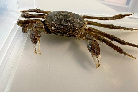 Riesige Krabbe erschreckt Frau zu Hause
