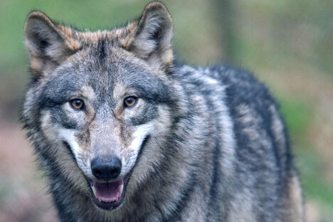 Wolf reißt drei Schafe in Dresden