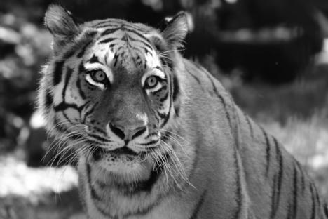 Die Ära der Tiger im Zoo ist beendet