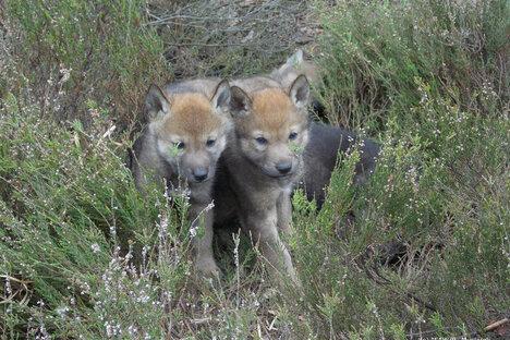 Oberlausitzer Wölfe haben Nachwuchs