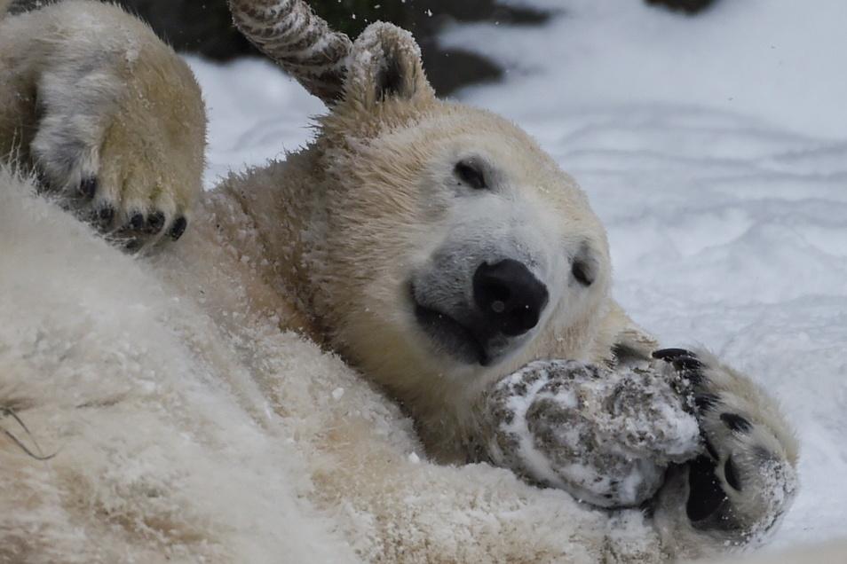 Die Eltern von Eisbärin Hertha sind Bruder und Schwester.