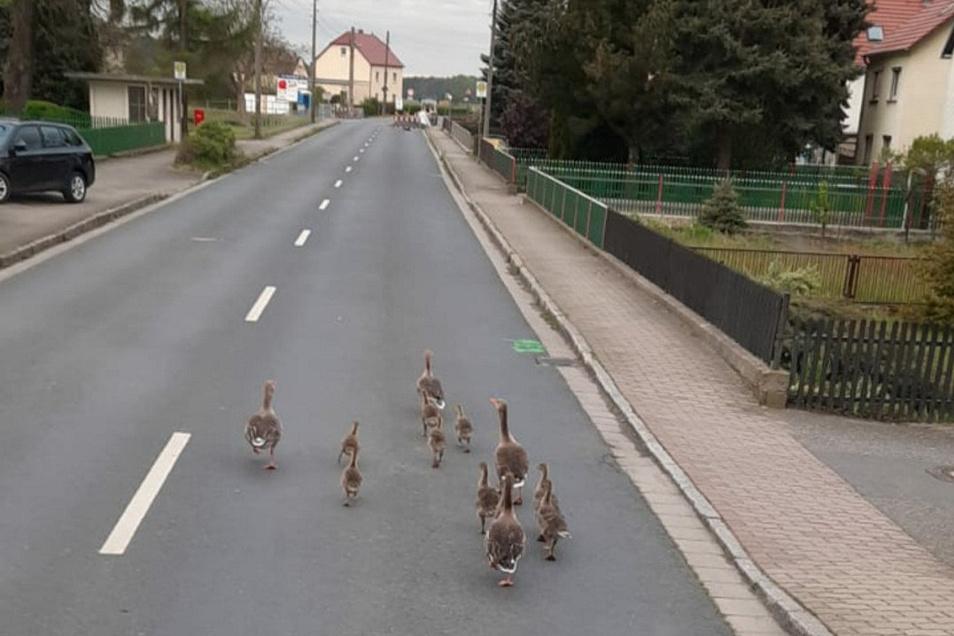 Weil die Bundesstraße in Schönfeld derzeit gesperrt ist, holen sich die Enten die Dorfstraße zurück.