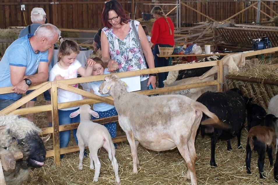Im Frühjahr 2019 kamen in der Naturschutzstation viele Lämmer zur Welt, die am Tag des offenen Schafstalls von den Besuchern bestaunt wurden.