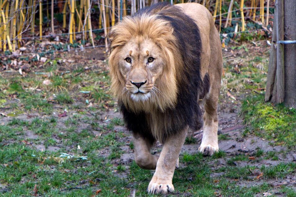 Nun ist Löwe Majo gefragt.