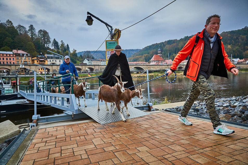 Mit der Fähre in Königstein kam die Ziegenherde auf die andere Elbseite.