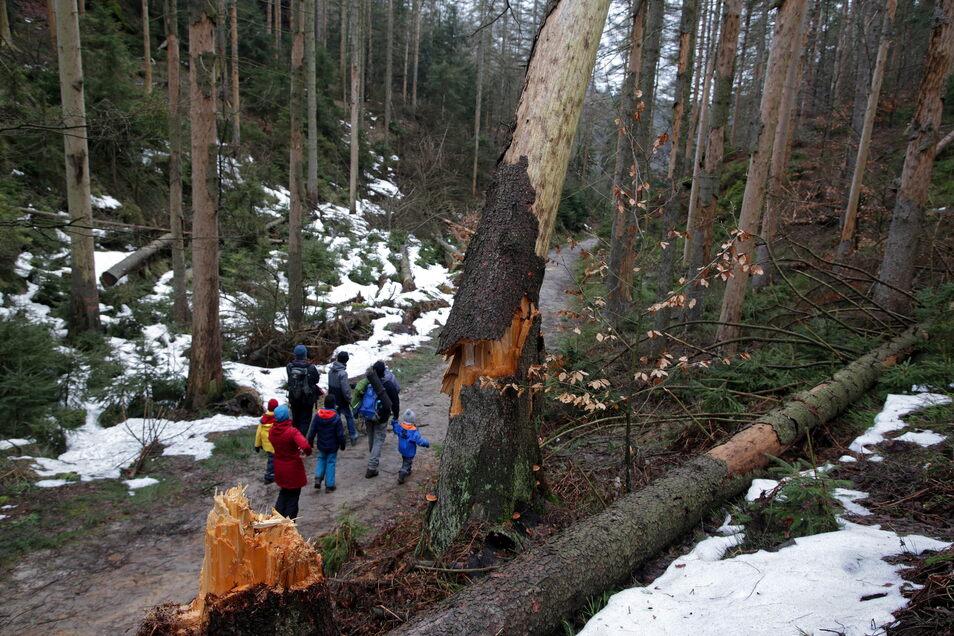Brechende Bäume am Wanderweg: Hier die sogenannte Lehne in den Affensteinen in der Sächsischen Schweiz.
