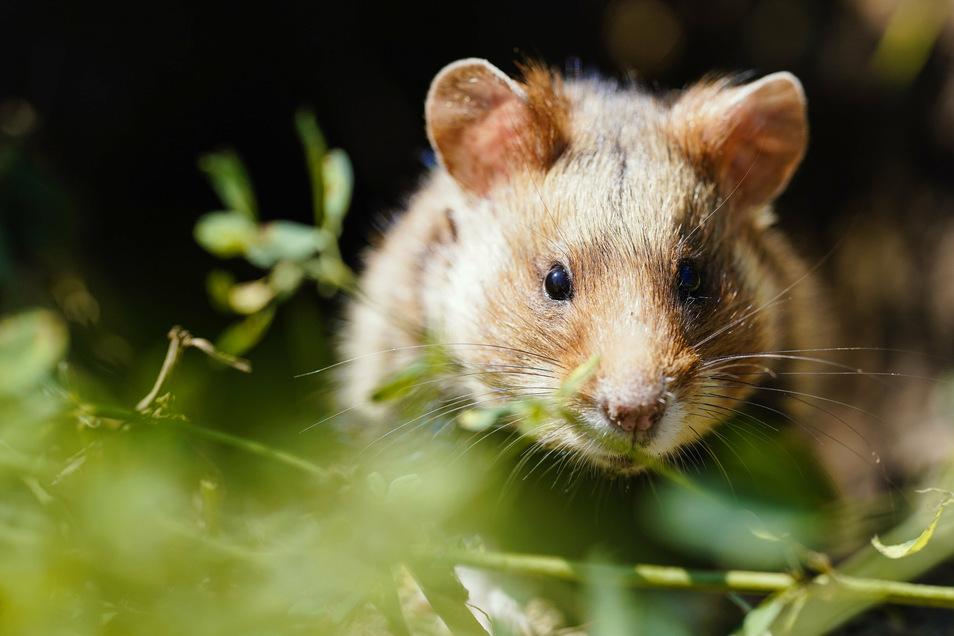 Der Feldhamster zählt in Deutschland zu den bedrohten Tierarten.