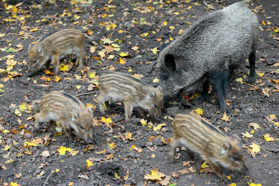 Wildschweine vermehren sich stark, deshalb lässt sich ihre Zahl in den Wäldern kaum schätzen.