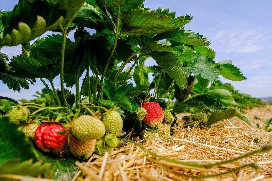 Sind fast erntereif – die Erdbeeren in Sörnewitz.