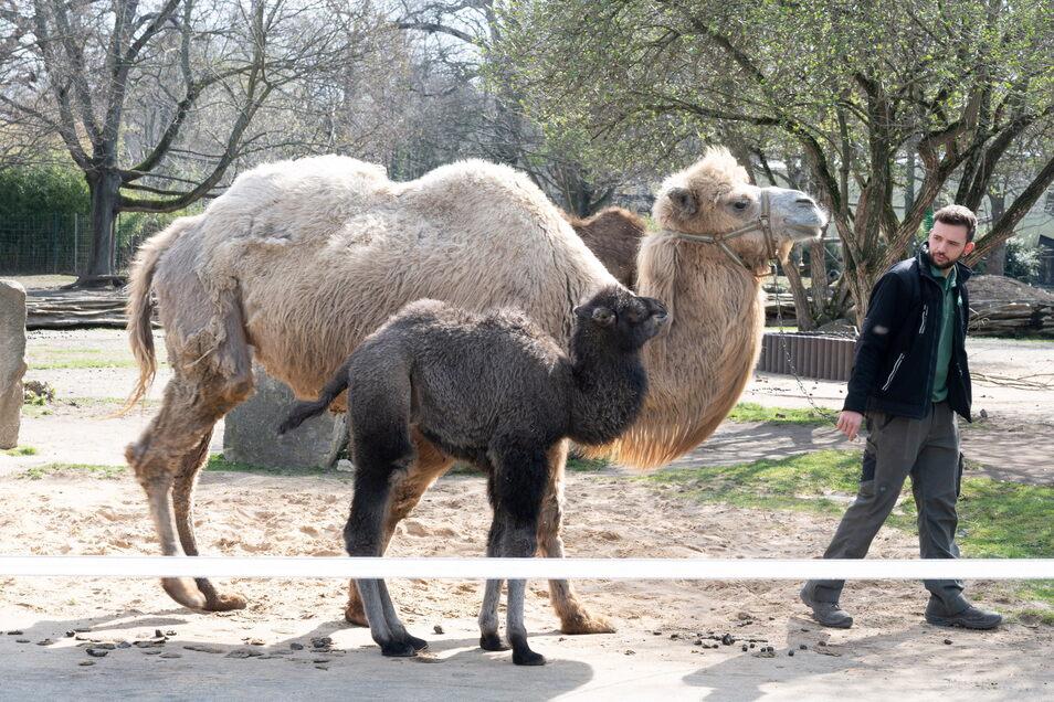 Tierpfleger Kevin Leuchter stellte am Freitag im Dresdner Zoo Trampeltier-Nachwuchs Delu vor.