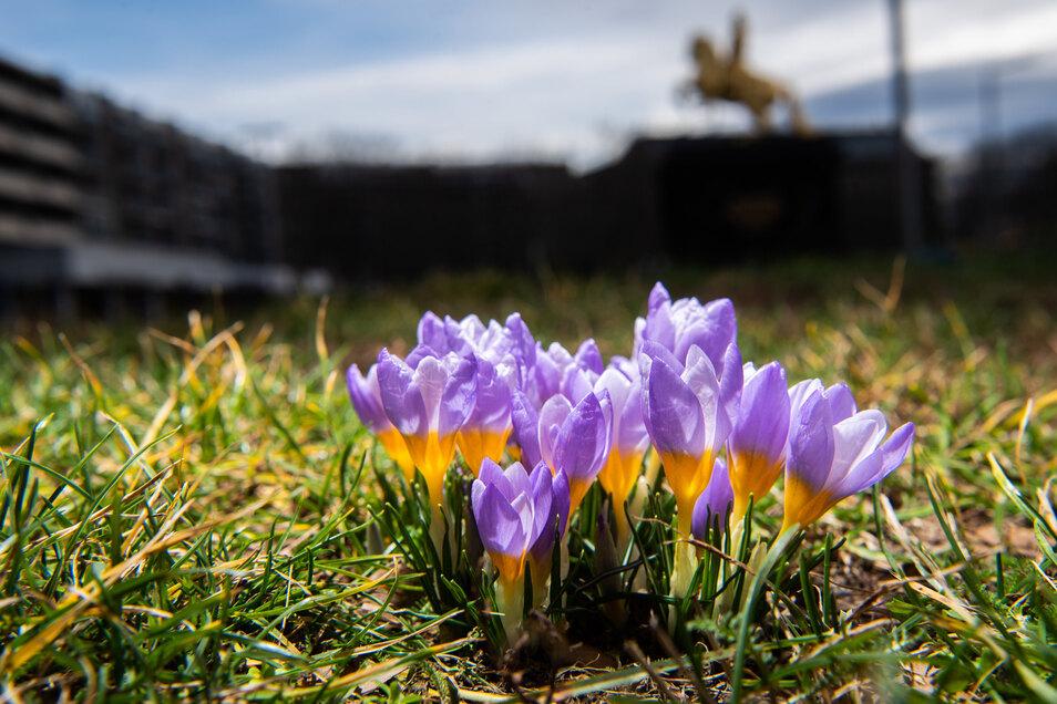 Krokusse vorm Goldene Reiter zeigen: Der Frühling kommt.