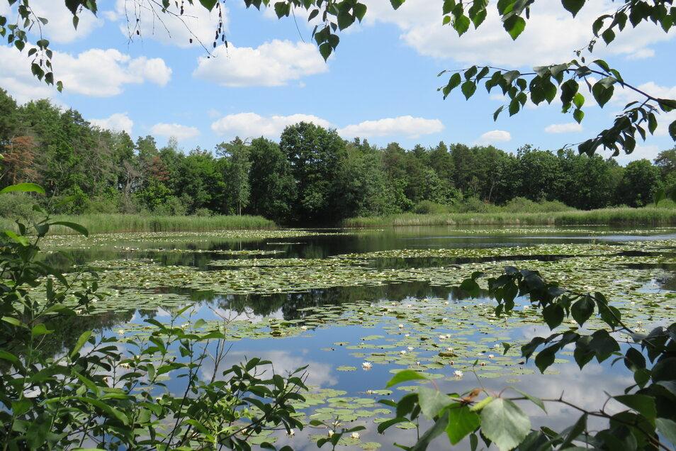 Seerosenpracht auf einem der vielen idyllischen Gewässer in der Region der Oberlausitzer Heide- und Teichlandschaft.
