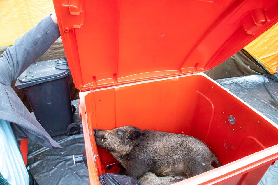 Ein trauriger Anblick: In den Rollcontainern des Kadaverbergestützpunktes in Lodenau warten geborgene Wildschweine auf den Abtransport zur Tierkörperbeseitigung nach Meißen.