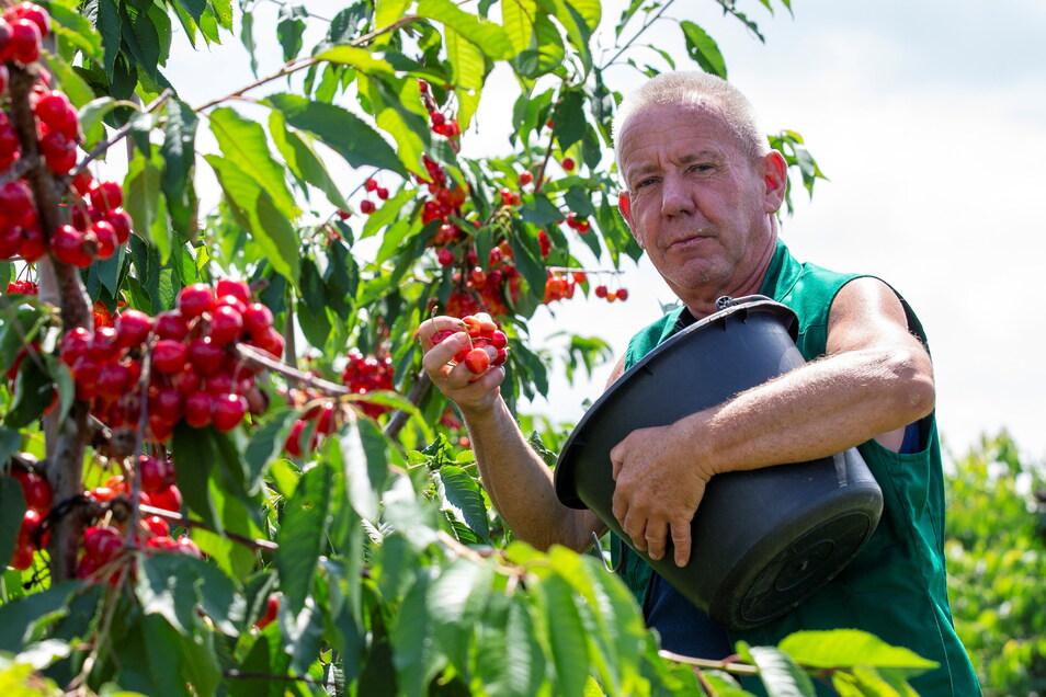 Olaf Lotze pflückt auf der Obstfarm Wedler und Höhler Kirschen für diejenigen, die nicht selbst pflücken wollen.