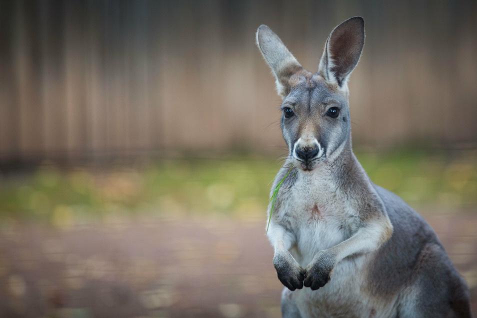"""""""Postmodern"""" hat die Tierpatenschaft für ein Känguru aus dem Dresdner Zoo abgeschlossen. Und auch auf Briefmarken und Fahrzeugen findet man den Hüpfer."""