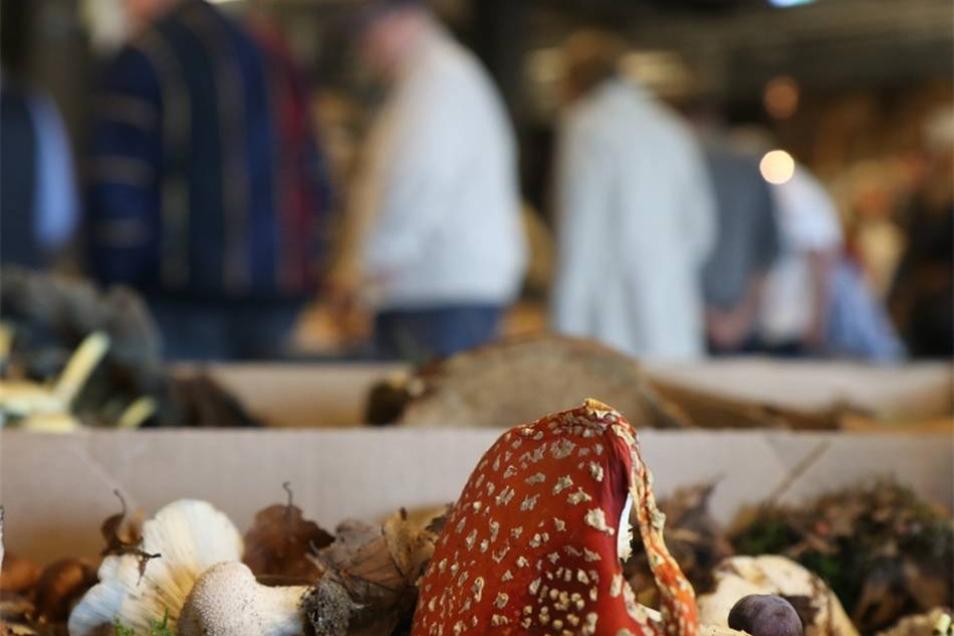 Pilzausstellung in der Messehalle Löbau: Mitgebrachte Pilzsammlungen liegen zur Begutachtung durch die Sachverständigen bereit