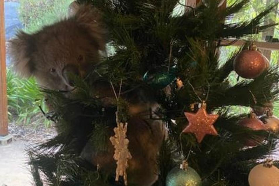 Neben Kugeln, Sternen und Lichtern hing ein Koala am Stamm eines Weihnachtsbaumes, den eine Australierin bei sich zu Hause aufgestellt hatte.