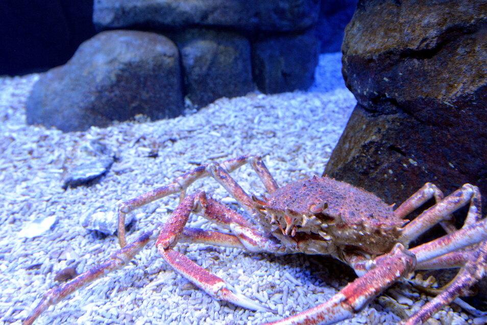 Um die vor Großbritannien gefangene Spinnenkrabben besser verkaufen zu können, wollen britische Fischer sie in Cornwall-Riesenkrabbe umbenennen.