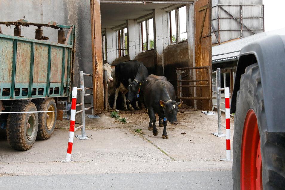 Diese schwarze Kuh wagte sich als Erste aus dem alten Stall.
