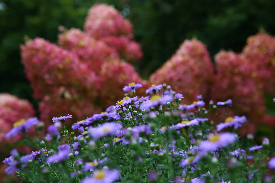 Hortensien und Herbstblumen blühen jetzt noch in den herrlichsten Farben.