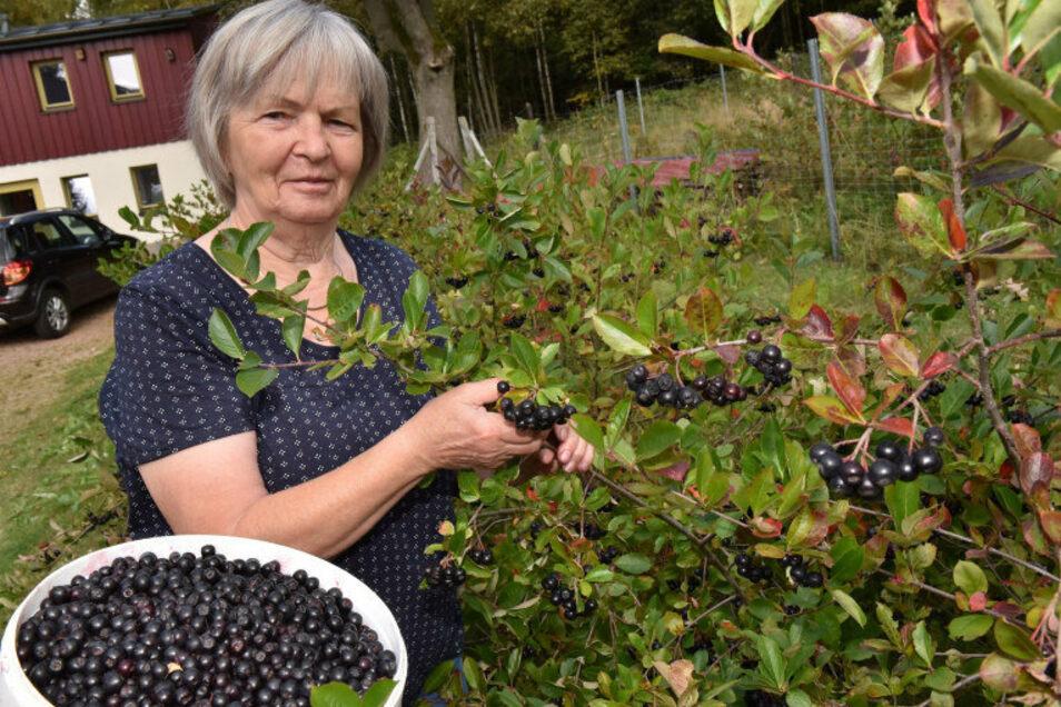 Monika Rasehorns Aroniaplantage in Neurehefeld liefert dieses Jahr über 500 Kilogramm dieser Früchte.