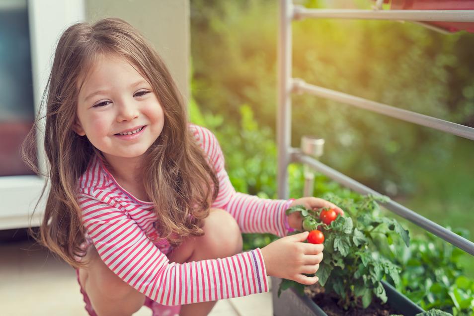 Tomaten kann man auch auf Balkon oder Terrasse anbauen.