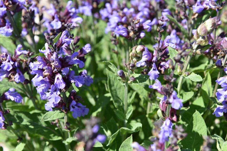 Die Blüten enthalten ätherische Öle, die als Wirkstoff in Heil- und Kosmetikartikeln verwendet werden.