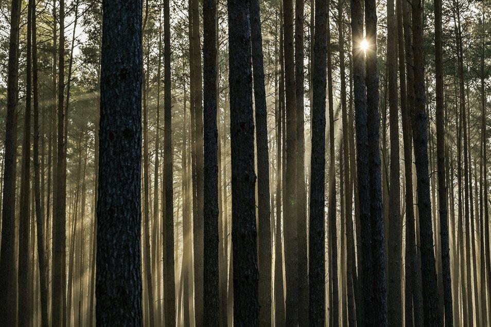 """Der Staatsbetrieb Sachsenforst will den Wald durch """"aktiven Waldumbau"""" widerstandsfähiger gegen den Klimawandel machen."""