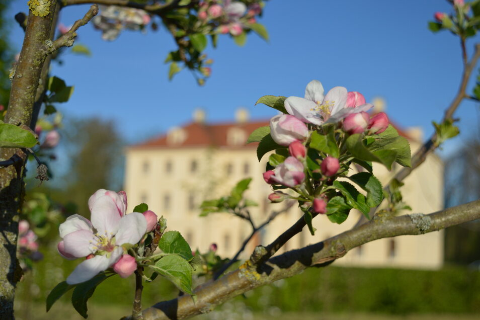 Ein herrlicher Anblick: Die Sonne der vergangenen Tage hat die Obstbaumblüte im Zabeltitzer Barockpark vorangetrieben.