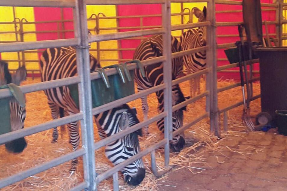 Wieder im Stall: Diese Tiere sind wieder da.