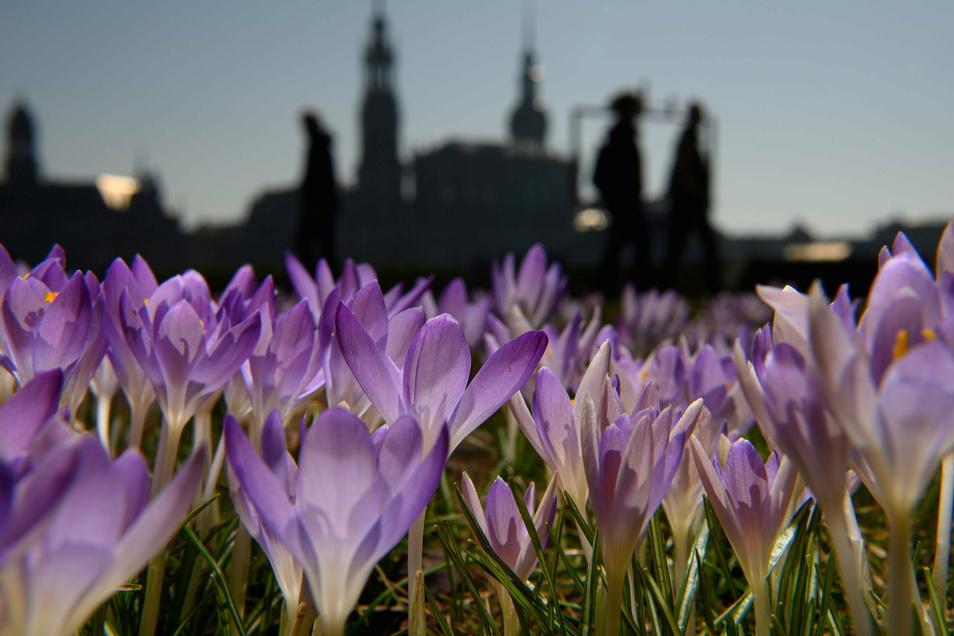 Krokusse blühen am Elbufer vor der Altstadt, die Menschen hielt nichts mehr zuhause.