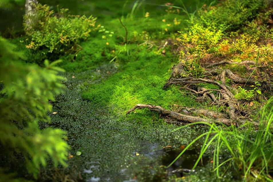 Die Mothäuser Heide ist eines der sechs Hochmoore in Sachsen, in denen noch kleine Flächen lebender Moore vorkommen.