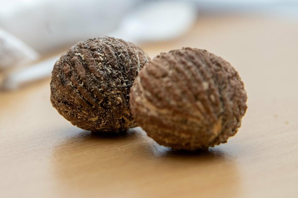 Früchte der Schwarznuss. Der Baum ist für sein schönes schweres Holz bekannt, das gern im Möbelbau eingesetzt wird.