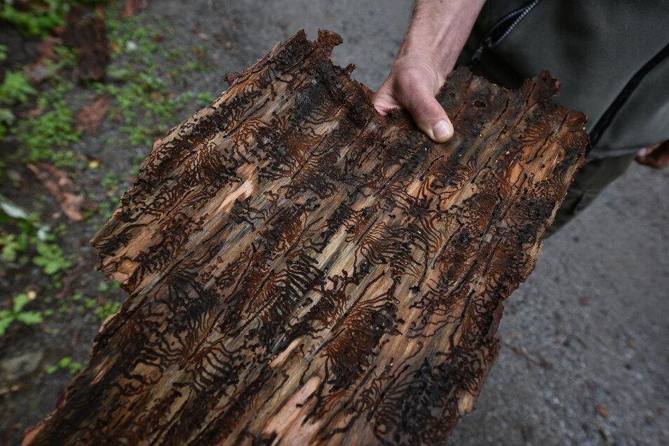 Die typischen Fraßspuren des Borkenkäfers sind unter der Borke der Fichten zu finden.