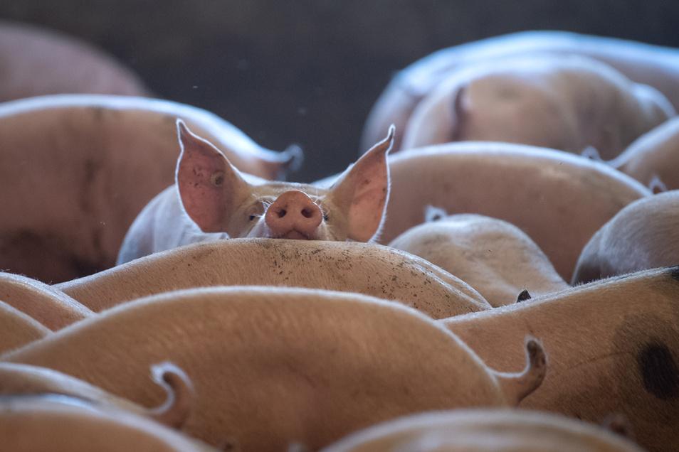 Auf die Frage, die Schweine gelebt haben, deren Schnitzel wir kaufen, gibt es weiterhin keine einheitliche Antwort.