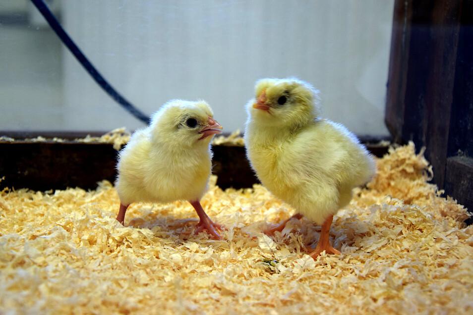 Die ersten Vorwerkhühner 2021. Bei Wasser und Futter sowie unter einer Wärmeplatte fühlen sich die wuseligen gelben Federbällchen wohl.