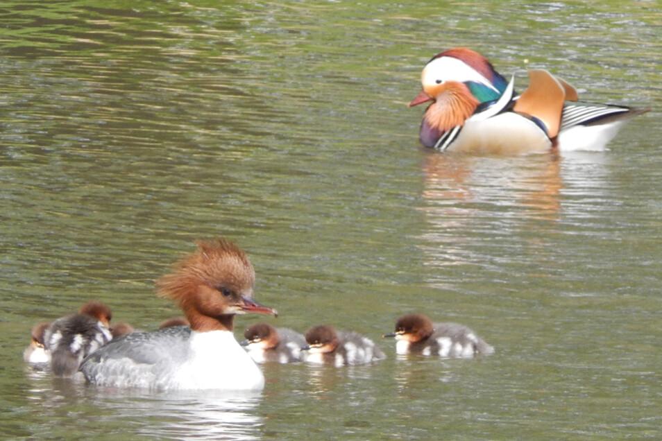 Gänsesäger (vorne) und Mandarin-Enten fühlen sich in Pillnitz heimisch.