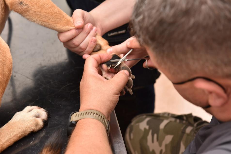 Schluss mit der Humpelei: Tierarzt Kießling behandelt die verletzte Pfote von Mischlingsrüde Axel.