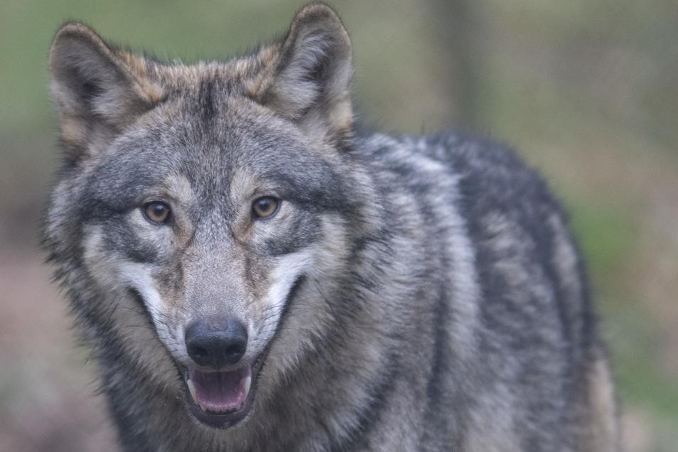 Wie soll mit Wölfen in der Lausitz umgegangen werden? Dazu wurden über 520 Menschen befragt.