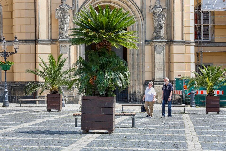 Die Palmen auf dem Zittauer Markt stehen wieder.