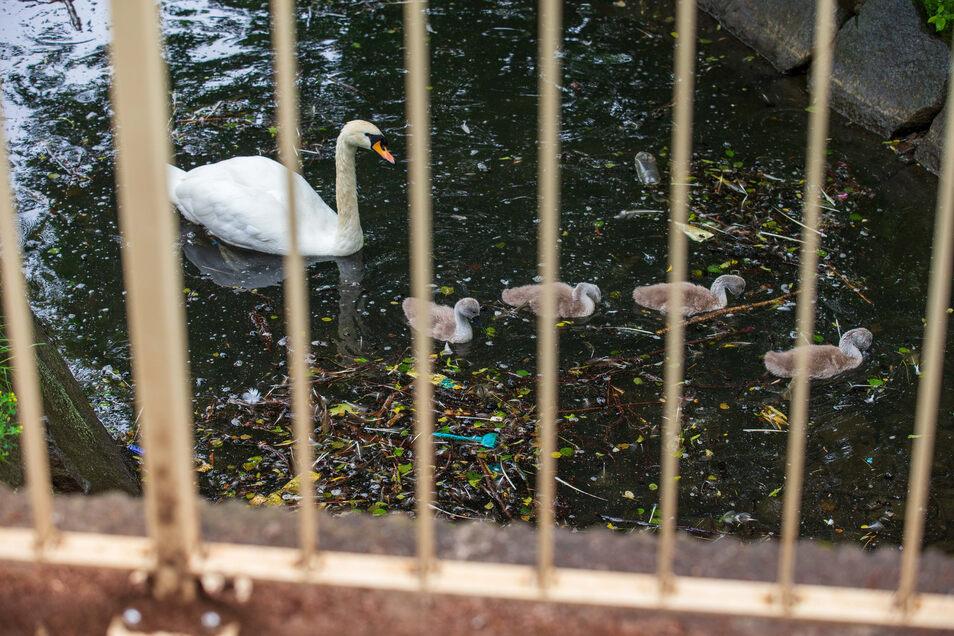 Achtlos im Teich entsorgter Plastikmüll könnte zur Gefahr für die Schwäne werden.