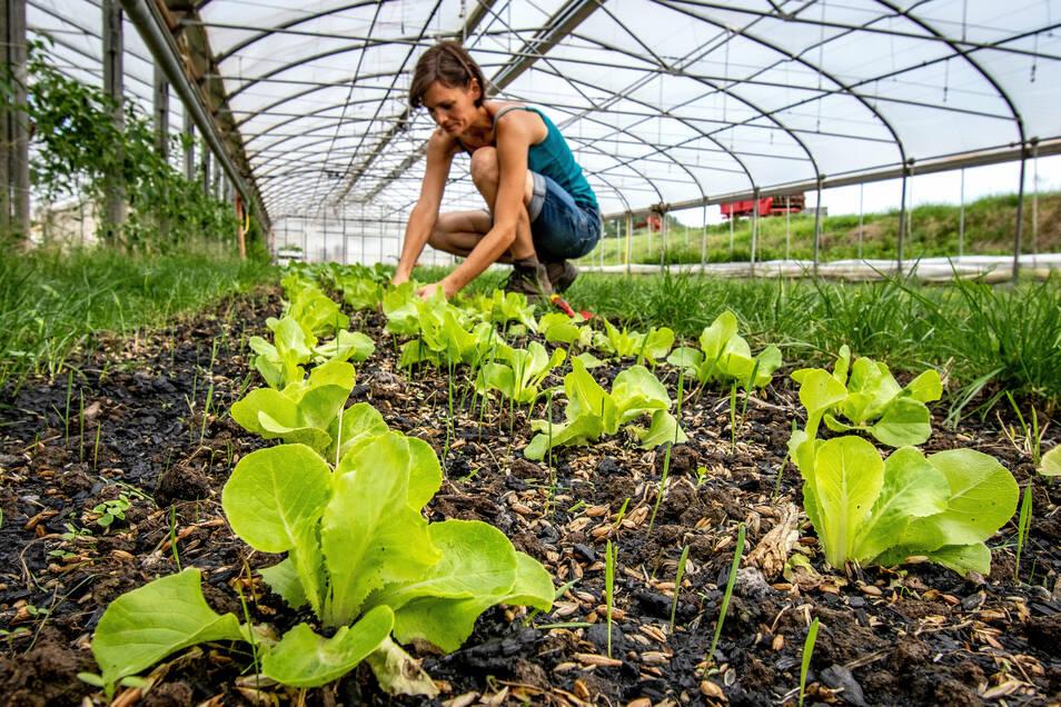 Maria Hesse von der Biogärtnerei Auenhof kümmert sich um die Salate. Einige stehen im Foliezelten, andere im Freiland.