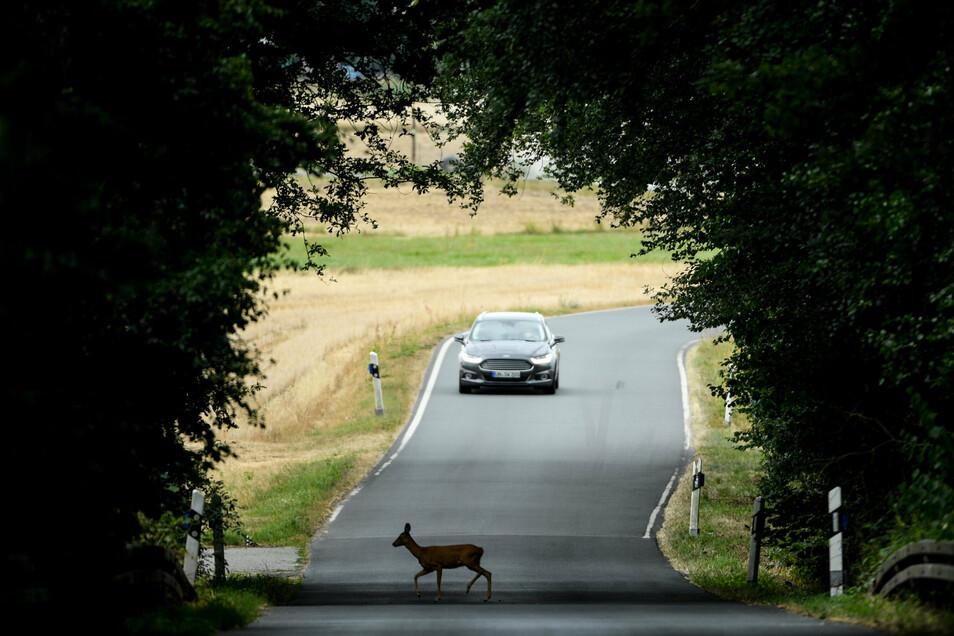 Ein Reh wechselt plötzlich über die Straße. Das passiert in der jetzigen Jahreszeit besonders oft.