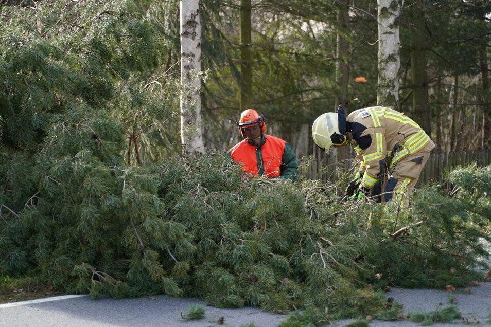 Sturmtief Hermine fällte diesen Baum am Sonntagvormittag an der Staatsstraße 111 am Ortsausgang von Bautzen Richtung Weißenberg. Kameraden der Feuerwehr Bautzen räumten die Straße wieder frei.