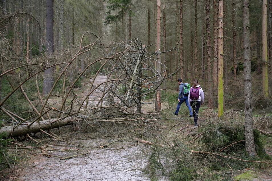 Tote Fichten knicken wie Streichhölzer: Für Wanderer ist es derzeit gefährlich in einigen Teilen der Sächsische Schweiz.
