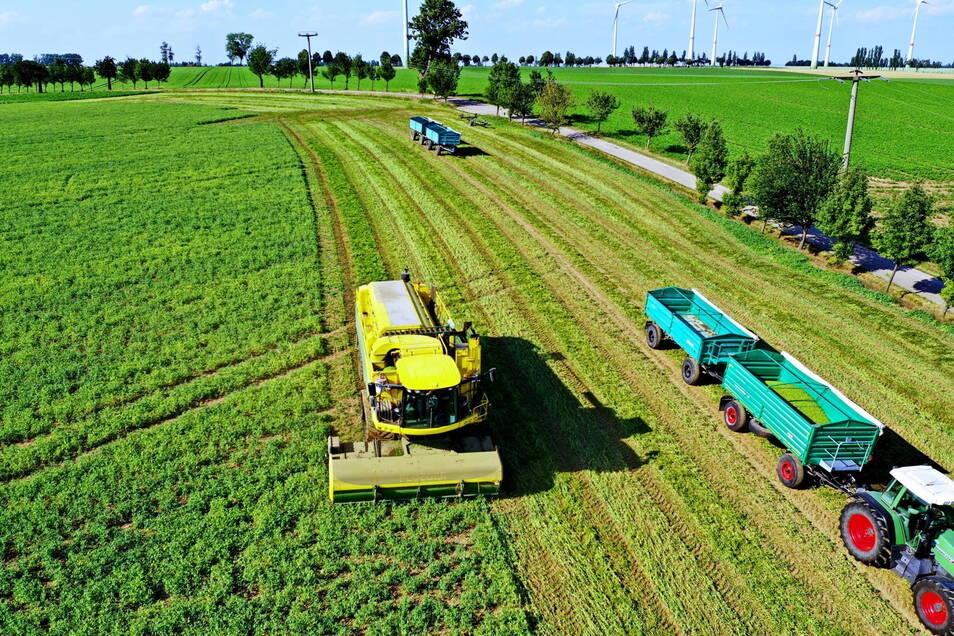 """Auf den Feldern der Lommatzscher Pflege ist """"Halbzeit"""" bei der Erbsenernte. Auf 2.000 Hektar wird das Gemüse angebaut."""