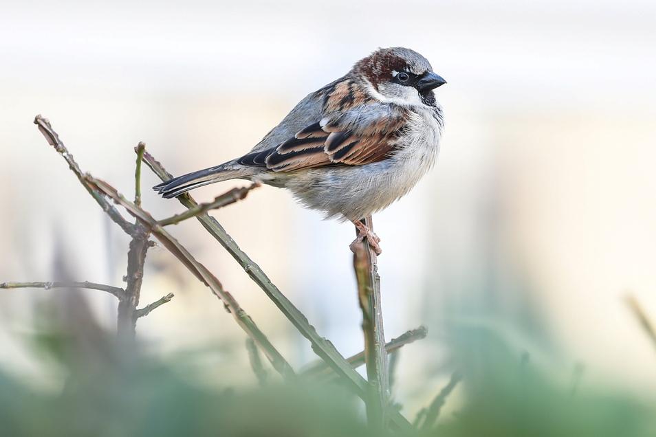 Der Haussperling, auch Spatz genannt, führt die Rangliste der häufigsten Gartenvögel.
